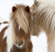 Portrait of Icelandic horses with long m