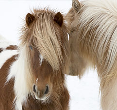 Portrait of Icelandic horses with long m
