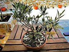 olive tree.jpg