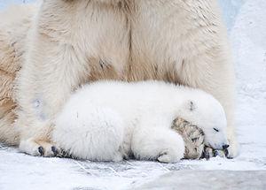Little polar bear sleeps on his mother's