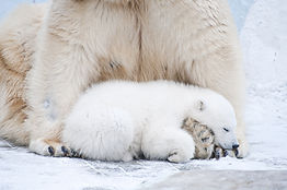 Little polar bear sleeps on his mother's