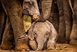 Baby African elephant under the protecti