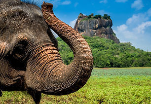 Elephant in famous Sigiriya rock fortres