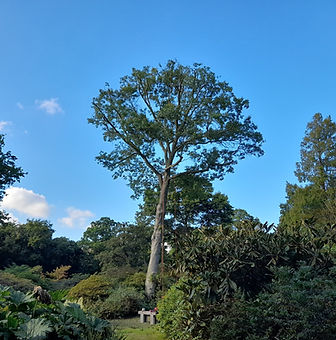 pin oak after.jpg