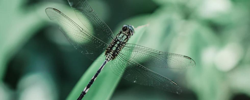 DragonflyON.png