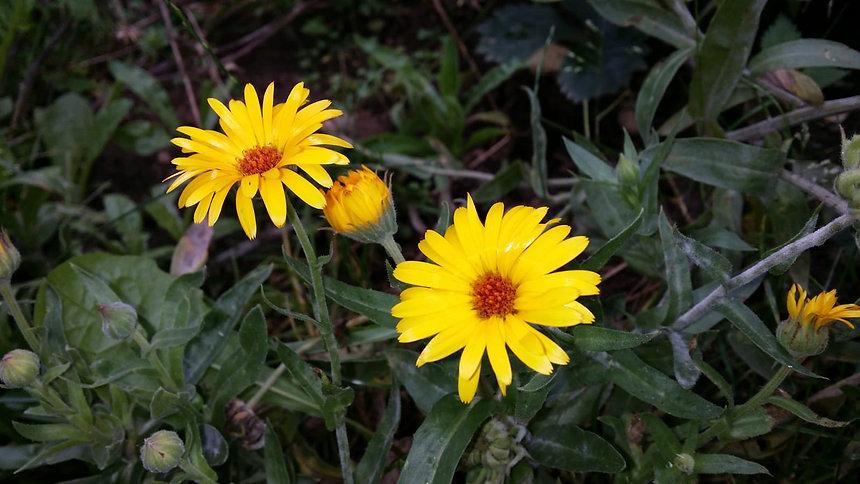 Frauenpflanze gelb.jpg