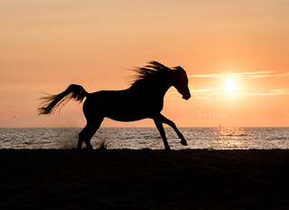 Arabians during sunset at the beach