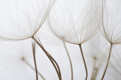 Close up macro image of dandelion seed h