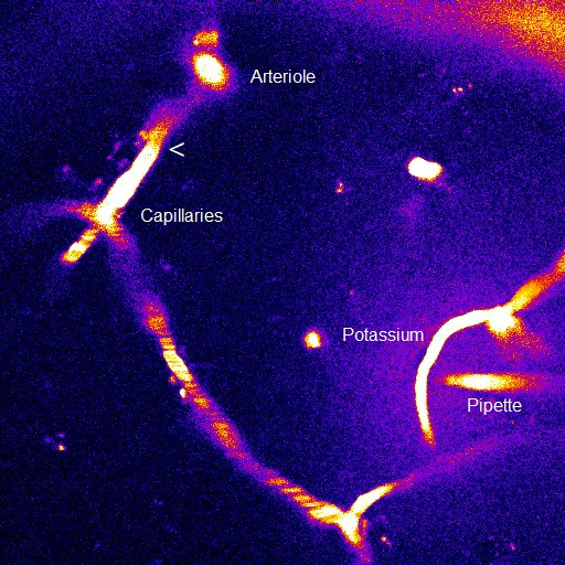 Capillaries control upstream arterioles