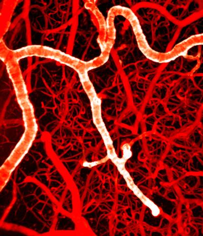 Arteries and capillaries