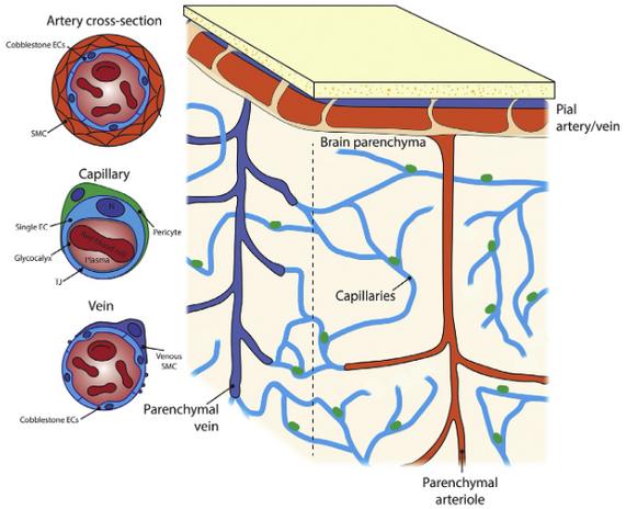 An overview of brain vascular anatomy.