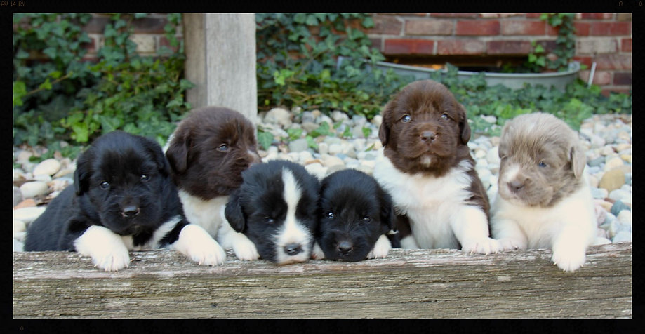 Newhavennewfs Newfoundland Puppies For Sale Local Breeder