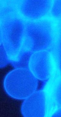 fluorescence microscopy of anaerobic fungi