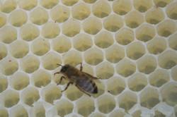 Bee on wax_2.jpg