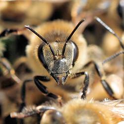 Honey_Bee Face.jpg