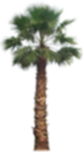 20-Free-Tree-PNG-Images-washingtoniafil0