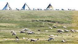 Reindeer herding in Yamal peninsula