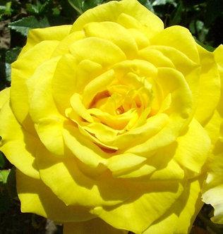 Храстовидна Жълта роза