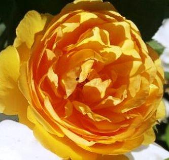 Катерлива Оранжева роза