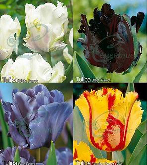 tulip Parrot Mix3