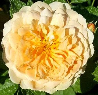 Храстовидна Светло оранжева роза
