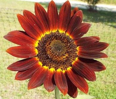 Червен слънчоглед (Хелиантус)