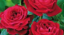 Как се засажда роза