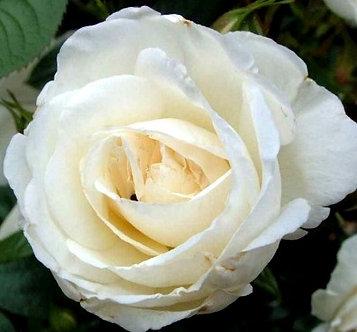 Храстовидна Бяла роза