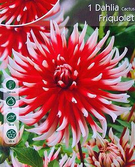 Далия кактус Червена с Бяло