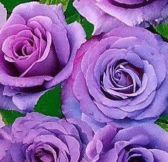 Катерлива Лилава роза
