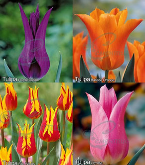 Tulip Lily-Flowering Mix1