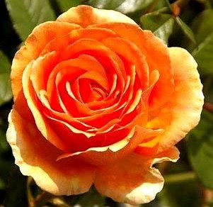 Храстовидна Оранжева роза
