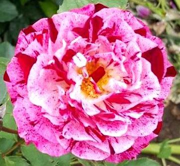 Храстовидна Розово-бяла роза