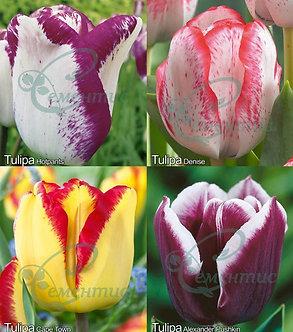 Tulip Triumph Mix5