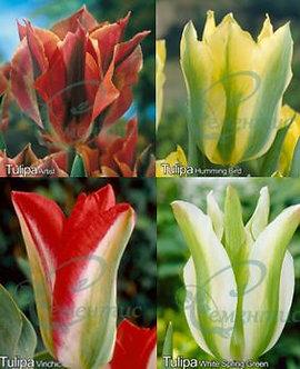 Tulip Viridiflora Mix