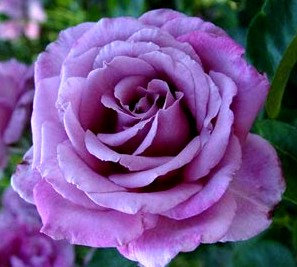 Храстовидна Лилава роза