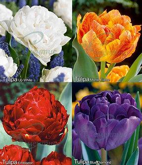 Tulip Double Mix2