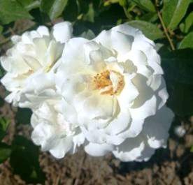 Катерлива Бяла роза