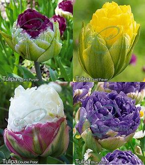 Tulip Paeonia Mix
