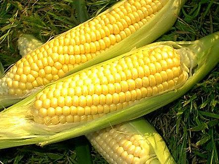 Сладка царевица Вега - 500 гр.