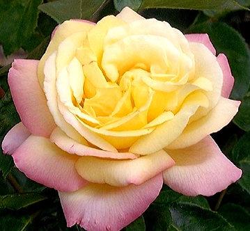 Храстовидна Жълто розова роза