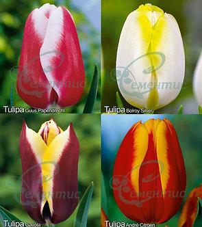 Tulip Triumph Mix4