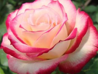 Отглеждане и съхранение на розите