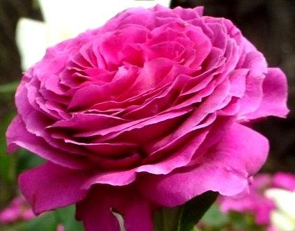 Храстовидна Тъмно розова роза