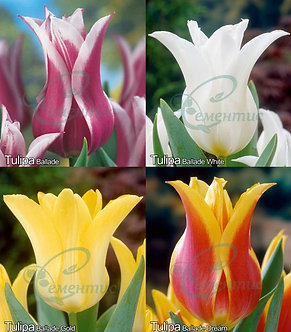 Tulip Lily-Flowering Mix2