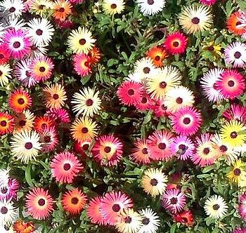 Месембриантемум микс (Обедно цвете)