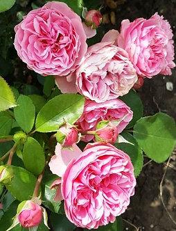 Катерлива Розова роза