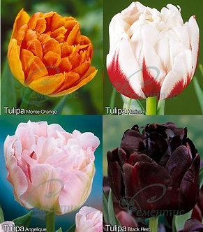 Tulip Double Mix1