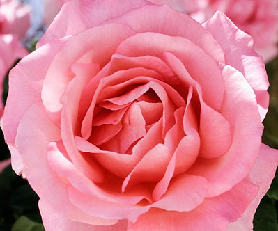Храстовидна Светло розова роза
