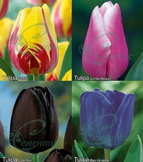 Tulip Single Late mix